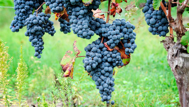 Comprar Vinos Cariñena