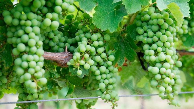 Comprar Vinos Chardonnay