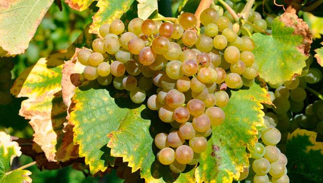 Comprar Vinos Fiano