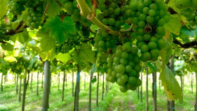 Comprar Vino Hondarribi Zuri Zerratia Petit Courbu