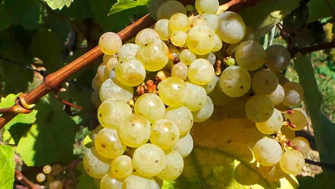 Comprar Vino Hondarribi Zuri