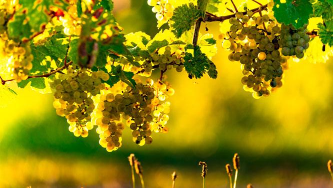 Comprar Vinos Malvasía