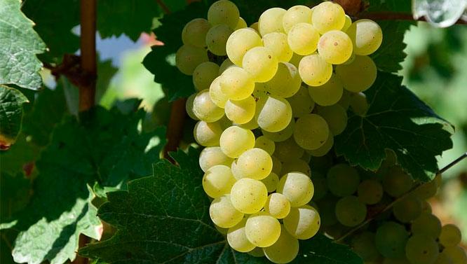 Comprar Vinos Moscatel