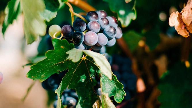 Comprar Vinos Petit Verdot