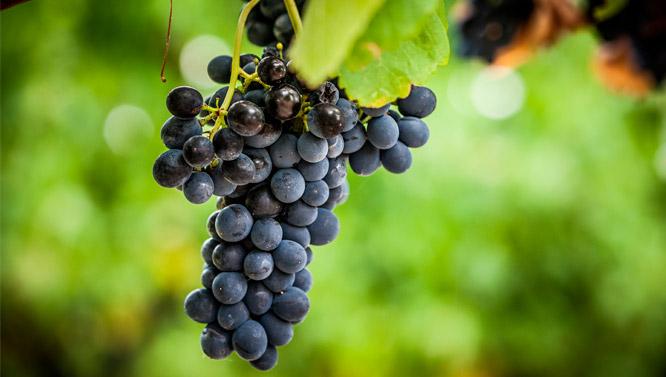 Comprar Vino Pinot Meunier