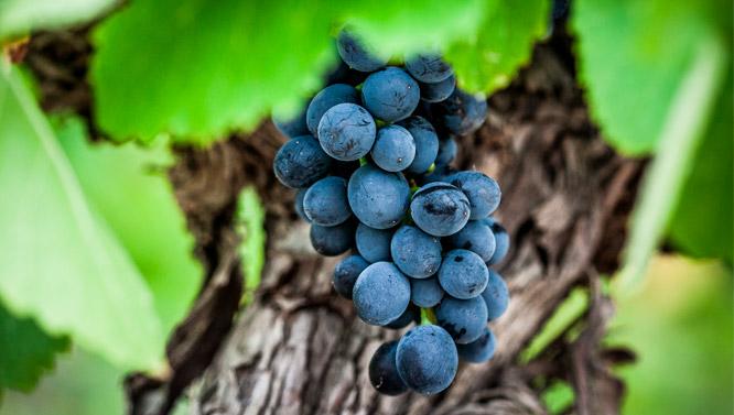 Comprar Vinos Pinot Noir