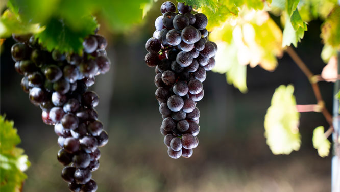 Comprar Vinos Tempranillo Peludo
