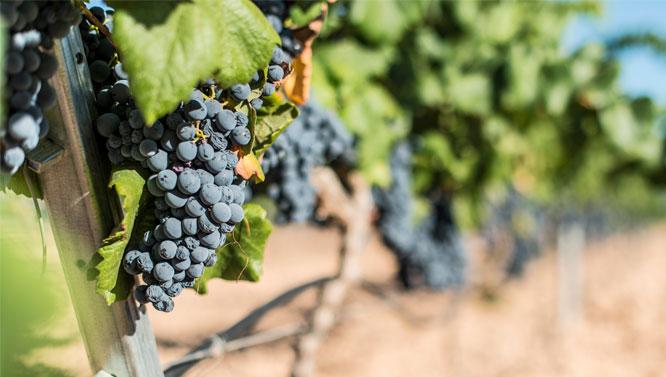 Comprar Vinos Uva Tinta de Toro