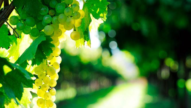 Comprar Vinos Torrontés