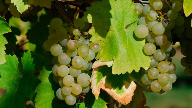 Comprar Vino uva Hondarribi Zuri Gros Courbu