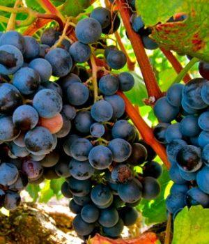 Comprar Vinos Garnacha Tintorera